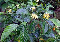 Gardenia Tubifera Kula