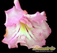 Pink Souffle