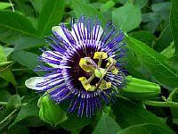 Passiflora Jana