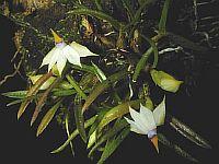 Dendrobium cyanocentrum