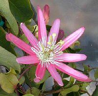 Passiflora Kewensis