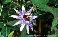 Passiflora Perfume