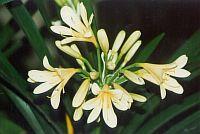 Clivia citrina