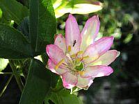 Passiflora Els
