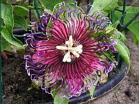Passiflora Sharka