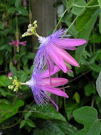 Passiflora Sweet surrender