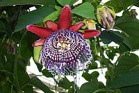 Passiflora Innesii