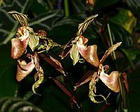 Paphiopedilum supardii