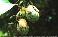 Passiflora Crenata