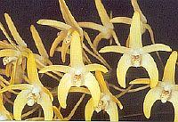 Dendrobium curvicaule