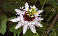 Passiflora Irma