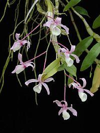 Dendrobium tortile