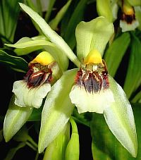 Coelogyne fragrans