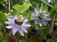 Passiflora Angelo Blue