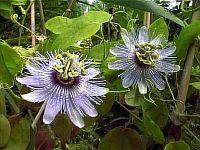 Passiflora Angelo Blue