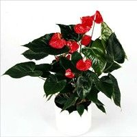 Anthurium Laura