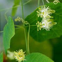 Passiflora Filipes