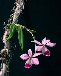 Barkeria elegans