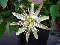 Passiflora Claudia