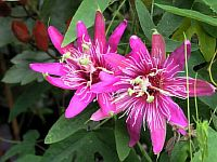 Passiflora Pink Seduction