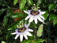 Passiflora Shelly