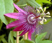 Passiflora Pura Vida