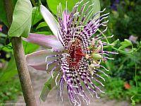 Passiflora Gratia