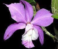 Cattleya dolosa