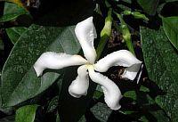 Samoan Gardenia Nitida