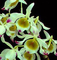 Dendrobium crystallinum