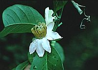 Passiflora Costata