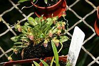 Acostaea costaricensis