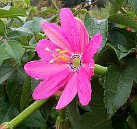 Passiflora Gloria Moreno