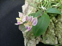 Phalaenopsis minus