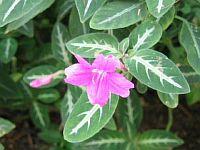 Ruellia makoyana