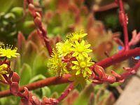 Aeonium Spathifolium Bloom