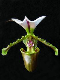 Paphiopedilum spicerianum var. giganteum