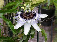 Passiflora Ely