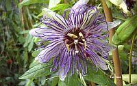 Passiflora Colvilii