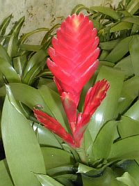 Vriesia Gunther