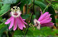 Passiflora Aurora