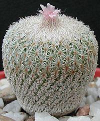 Epithelantha micromeris