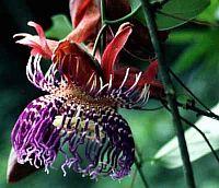 Passiflora Cerasina