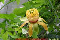 Passiflora cirrhiflora