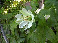 Passiflora Ampulacea