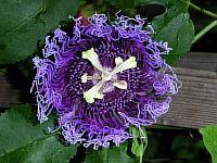 Passiflora Roedie