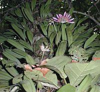 Bulbophyllum melanoglossum