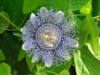 Passiflora Guglielmo Betto