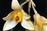 Dendrobium coeloglossum
