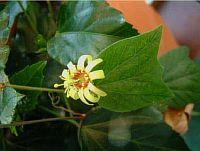 Passiflora Lucy Zara
